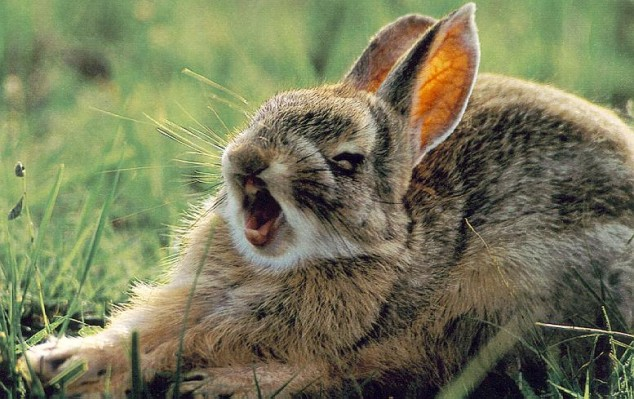 Yawning-rabbit-3-634x399