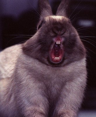 Yawning-rabbit-4